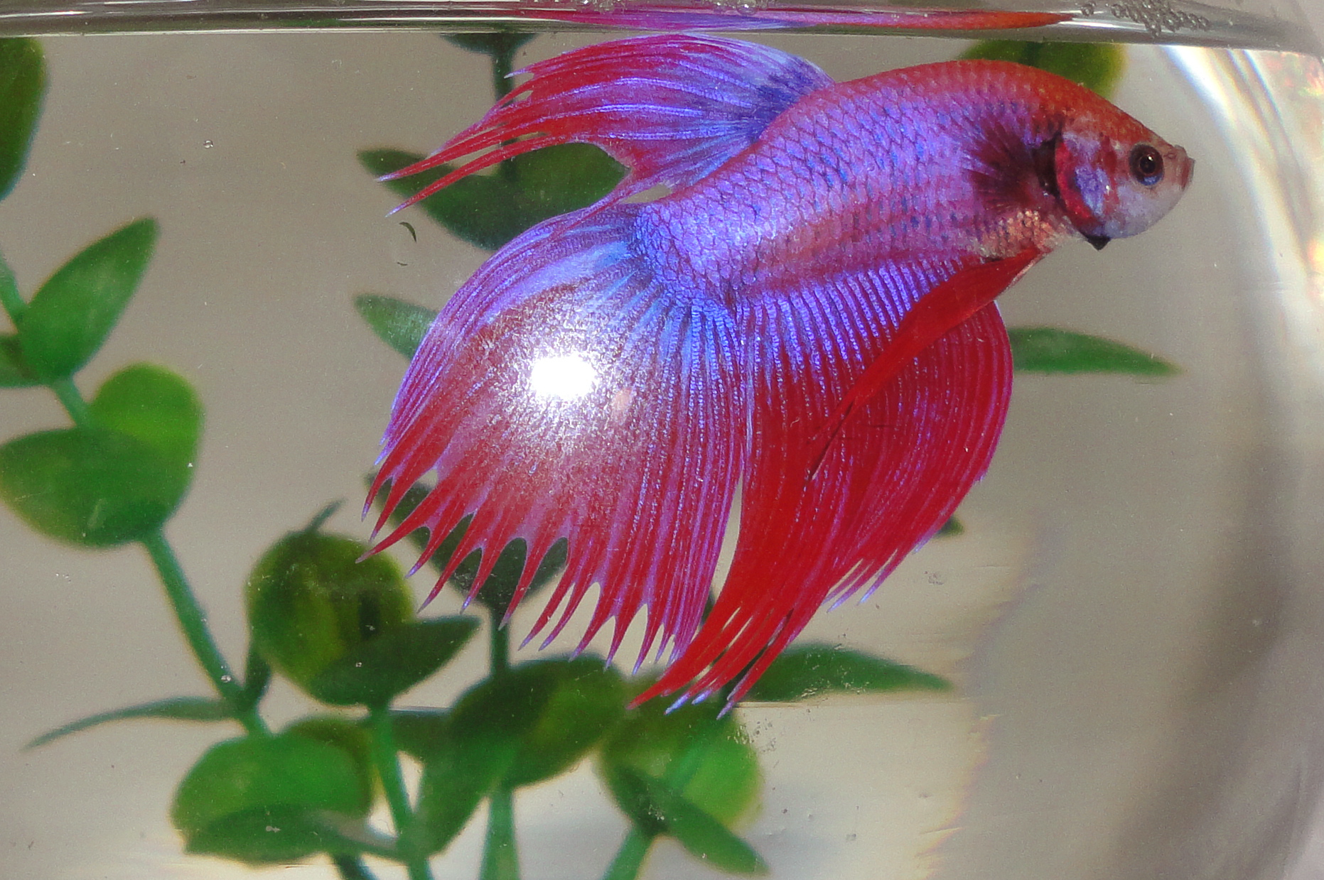 Crowntail betta fish or the fighter fish creativentechno for Crowntail betta fish
