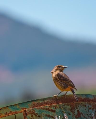 sparrow image